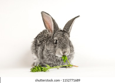 Grey little rabbit bites a carrot on a white background.