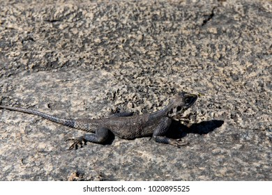 Grey Lizard on Stone Closeup