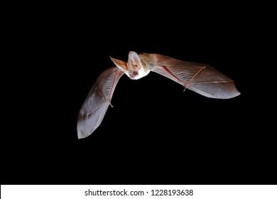Grey long-eared bat, Plecotus austriacus in flight hunting at night
