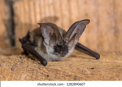 Grey long-eared bat (Plecotus austriacus) is a fairly large European bat. It has distinctive ears, long and with a distinctive fold. It hunts above woodland, often by day, and mostly for moths.