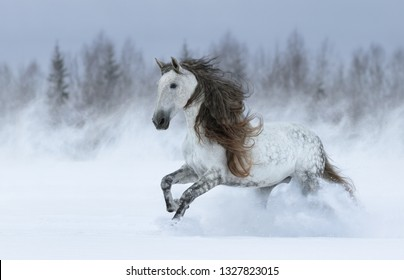 Grey long-maned Purebred Spanish horse galloping during blizzard across winter meadow.