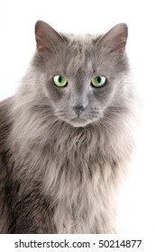 Grey main coon cat is staring at you.