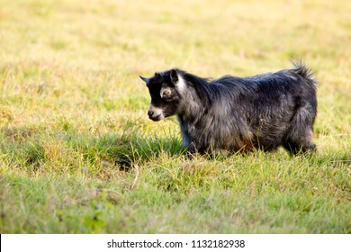 Grey male stud minature pygmy buck standing in green grassy meadow