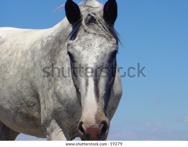 Grey Mare against a blue sky. There is no halter or other tack in the picture