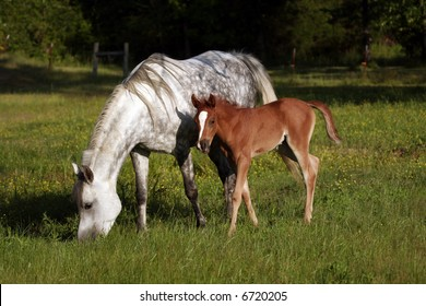 Grey mare with foal