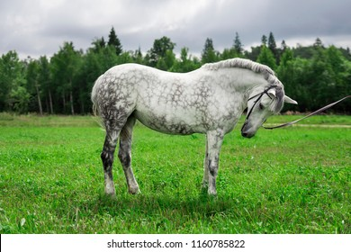 Grey mixed-breed horse on a field with trees on a background