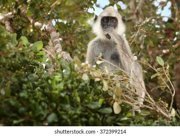 Grey monkey Hanuman Langur Semnopithecus entellus, sitting on treetop and feeding on leaves, staring directly at camera in Sri Lanka forest. Blurred green canopy in background.