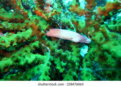 grey moral eel - scuba diving at the coral reef in Thailand