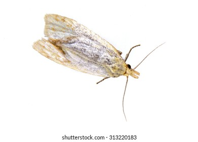 Grey moth on a white background