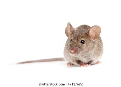 grey mouse close up isolated on white background