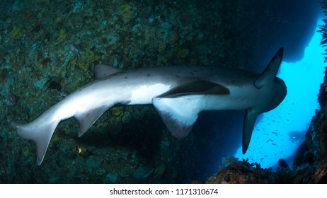 Grey nurse shark swimming away