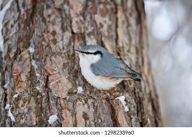 A grey nuthatch climbing along a pine trunk.