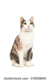 Grey, orange and white female cat sitting seen from the front looking up isolated on a white background