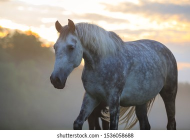 grey orlov trotter horse at the field early morning