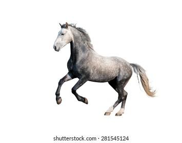 grey orlov trotter horse stallion galloping isolated on white background