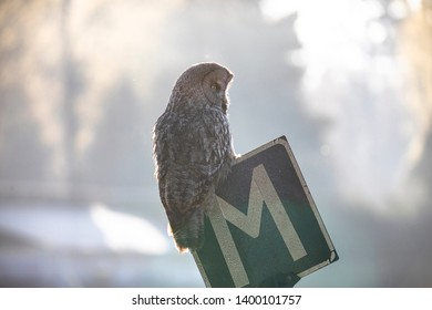 Grey owl in the city