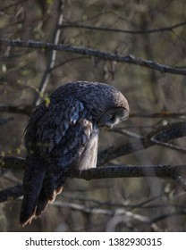 Grey owl lose or gain weight