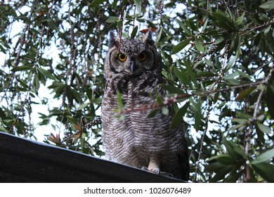 Grey owl perched on shed roof during the day