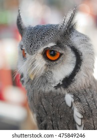 Grey owl with red eyes with blur background