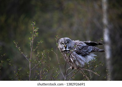 Grey owl in swedish forest
