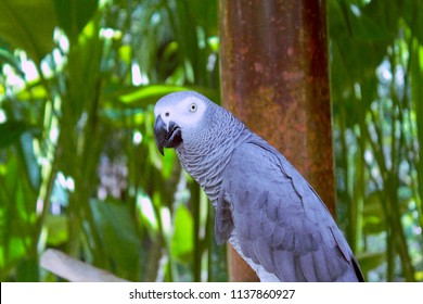 Grey Parrot Congo Grey Parrot or African Grey Parrot in the Garden Animals at Gianyar Bali Indonesia