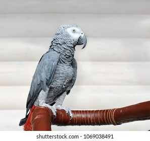 The grey parrot Psittacus erithacus, also known as the Congo grey parrot or African grey parrot, is an Old World parrot in the family Psittacidae.