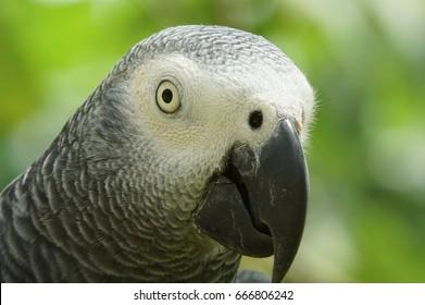 Grey Parrot, Psittacus erithacus, Principe Island, Sao Tome and Principe, Africa