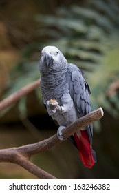 Grey parrot whit red tail, eats peanut