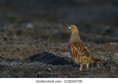 Grey partridge run on the field, winter, germany,