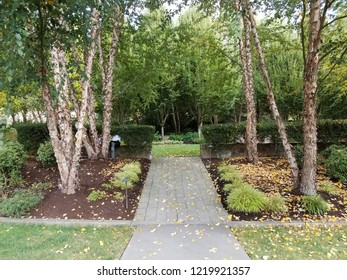grey path or trail with green trees with peeling bark and plants
