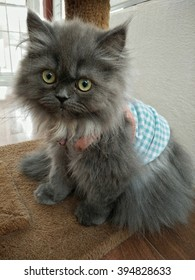 Grey Persian cat, 2 months old in Blue plaid suit