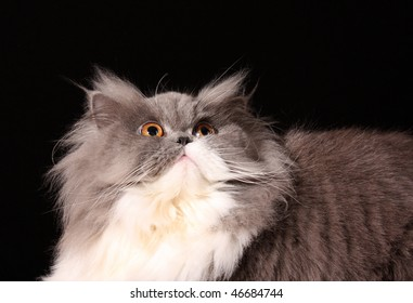 Grey persian cat on black background
