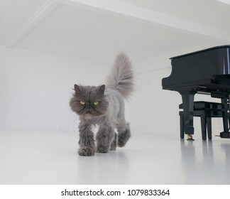 Grey persian cat walking in a total white room with black piano. Horizontal.