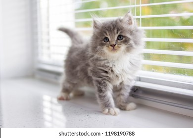 Grey Persian Little fluffy Maine coon kitten stands near door window and looking up . Newborn kitten, Kid animals and adorable cats concept