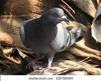 Grey Pigeon on Coconut Tree, Beautiful Bird on plam,  very closeup
