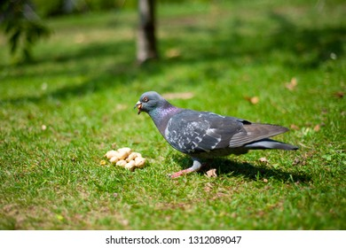 Grey pigeon trying to eat peanuts on the green grass.