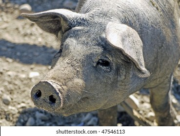 A grey piglet in sty on hobby farm