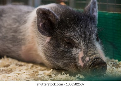 grey pink mini pig lies in a cage in the petting zoo.