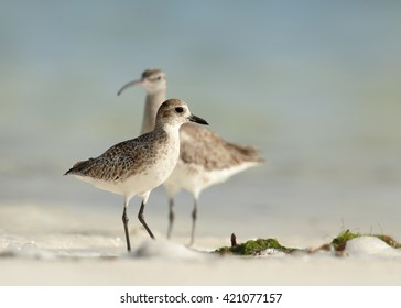 Grey Plover, Pluvialis squatarola, small migrating bird, spending winter time on white beach of Zanzibar island standing in shallow water. Whimbrel and blurred blue ocean in background.Tanzania,Africa