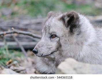 grey polar fox close up portrait