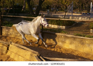 Grey pony cantering (running)