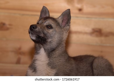 grey puppy on a background of wood