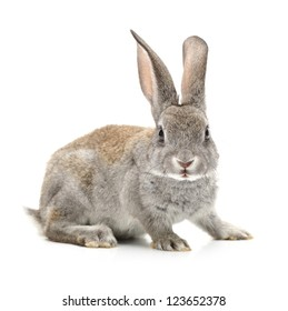 grey rabbit on a white background