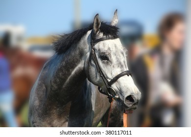 Grey Racehorse portrait