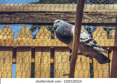 Grey racing male pigeon singing on a wooden roost inside a loft.