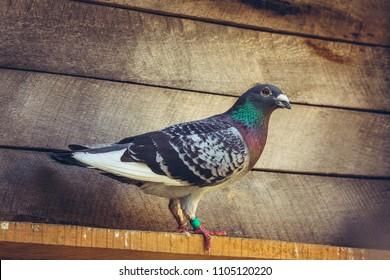Grey racing pigeon male inside a wooden loft.