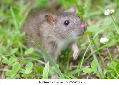 Grey rat in the clover