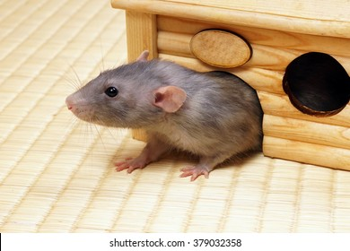 Grey rat comes out of the tree house.