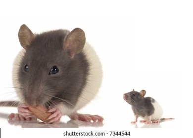 grey rat on a white background