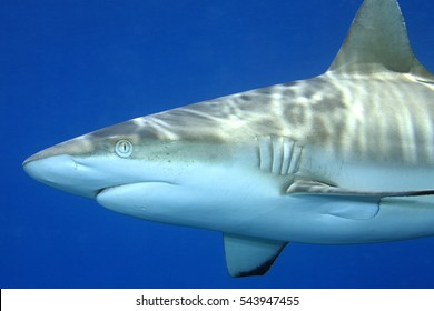 Grey Reef Shark, Carcharhinus amblyrhynchos. Close up detail of face, mouth and gills. Blue water background. Uepi, Solomon Islands. Solomon Sea, Pacific Ocean